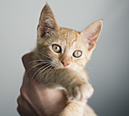 Tabby kitten on a hand - RAEF000218