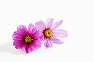 Mexican aster, Cosmos bipinnatus, blossoms - CSF025896