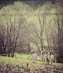 Germany, Black Forest, three roe deers grazing side by side on a meadow - KRPF001465