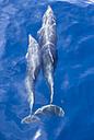 Spain, Andalusia, Bottlenose Dolphins, Tursiops truncatus - KBF000335