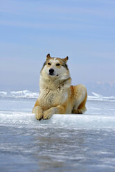 Russia, Lake Baikal, Siberian Husky lying on frozen lake - GNF001339