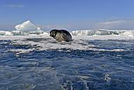 Russia, Lake Baikal, Baikal seal at an ice hole - GNF001340