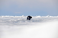 Russia, Lake Baikal, Baikal seal looking out from ice hole - GNF001354