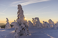 Germany, Saxony-Anhalt, Harz National Park, snow-capped firs on Brocken at sunrise - PVCF000443