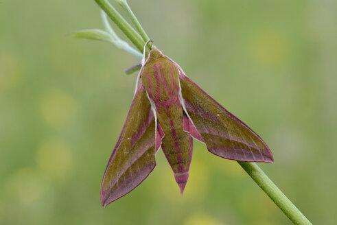 Deilephila elpenor - MJOF001034