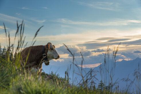 Austria, Tyrol, cow on alpine pasture - MKFF000222