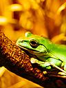 Chinese flying frog, Rhacophorus dennysi - KRPF001533