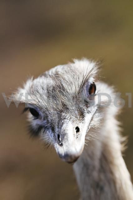 Portrait of african ostrich, Struthio camelus - KRPF001539