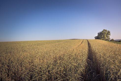 Germany, Baden-Wuerttemberg, near Tuebingen, spelt field - LVF003636