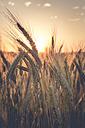 Germany, Baden-Wuerttemberg, barley field against the evening sun - LVF003649