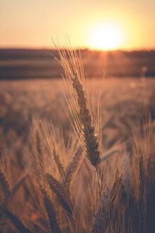 Germany, Baden-Wuerttemberg, barley field against the evening sun - LVF003651