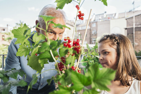 Grandfather and granddaughter picking red currants from balcony - MFF001725