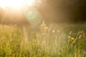 Buttercups on a meadow at evening light - SARF002033