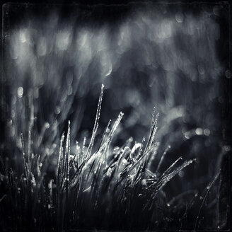 Dew on blades of grass in the morning light, monochrome - DWIF000527