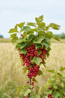 Germany, Petershagen, red currants - HAWF000815