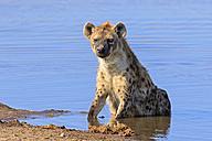 Namibia, Etosha National Park, spotted hyena sitting at Chudop waterhole - FOF008120