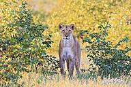 Namibia, Etosha National Park, watching lioness - FOF008121