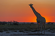 Namibia, Etosha National Park, giraffe at sunset - FOF008126