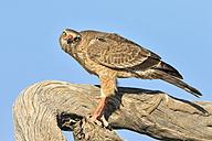 Namibia, Etosha National Park, portrait of Eastern chanting goshawk - FOF008133