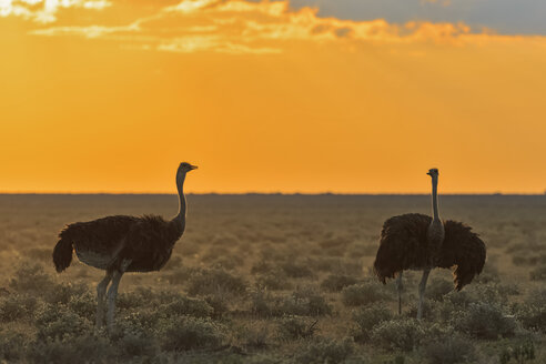 Namibia, Etosha National Park, two African ostrichs by sunset - FOF008134