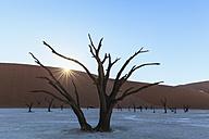 Namibia, Namib Naukluft, Namib Desert, dead acacias on clay pan - FOF008165