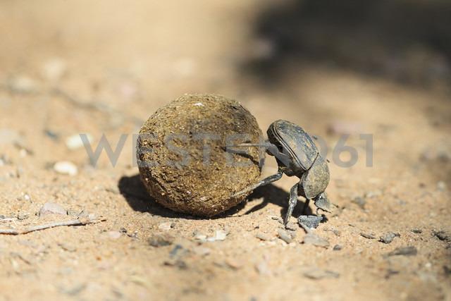 Dung beetle, Scarabaeus sacer, with dung ball - FOF008211