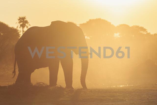 Botswana, Makgadikgadi Pans National Park, African elephant at backlight - FOF008251
