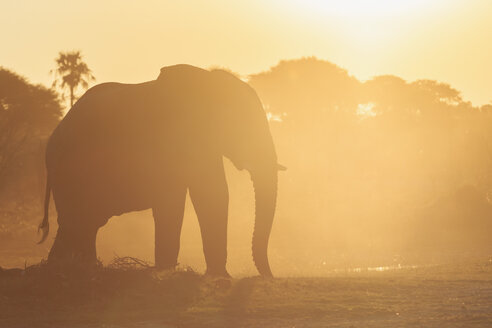 Botswana, Makgadikgadi Pans National Park, African elephant at backlight - FOF008251