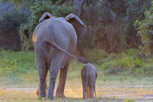 Africa, Zimbabwe, Mana Pools National Park, cow elephant with baby elephant - FOF008231