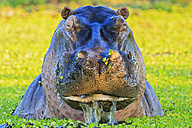 Zimbabwe, Urungwe District, Mana Pools National Park, portrait of a hippopotamus in a lagoon - FOF008232