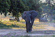 Africa, Zimbabwe, Mana Pools National Park, tusker with tourists on jeeps in the background - FO008248