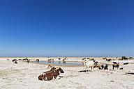 Botswana, Kalahari, herd of cattle at waterhole - FOF008270