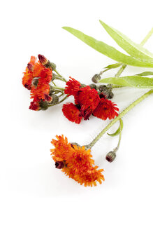 Flowering orange hawkweed, Hieracium aurantiacum - CSF025831