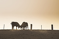 Spain, bulls standing on a pasture at backlight - DEGF000467