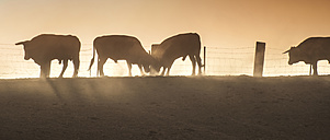 Spain, bulls standing on a pasture at backlight - DEGF000465
