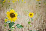 Sunflowers in a grain field - CZF000204