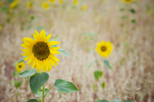 Sunflowers in a grain field - CZF000204