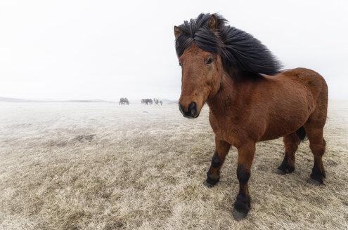 Iceland, Icelandic Horse - SMAF000351