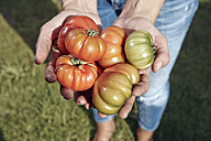 Close-up of woman holding beef tomatoes in garden - RHF001006