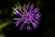 Greater knapweed, close-up - TCF004744