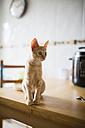 Tabby kitten sitting on kitchen table - RAEF000263
