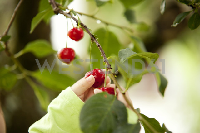 Little girl's hand picking cherry from a tree - MFRF000309 - Michelle Fraikin/Westend61