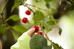Little girl's hand picking cherry from a tree - MFRF000309