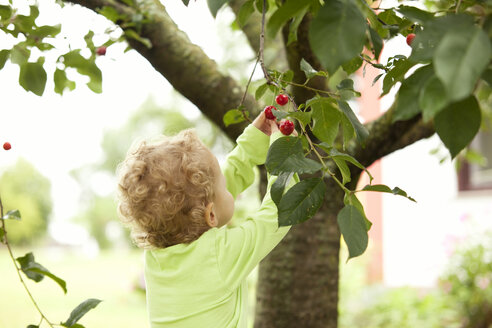 Little girl picking cherry from a tree - MFRF000311