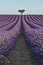 France, Alpes-de-Haute-Provence, Lavender field near Valensole - KEBF000213