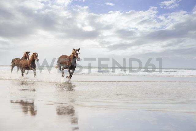 Brown horses running on a beach - ZEF006423
