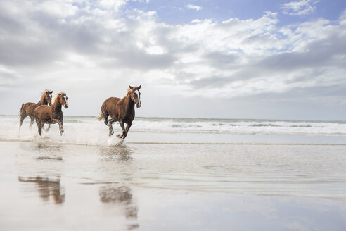 Brown horses running on a beach - ZEF006423