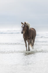 Brown horse running on a beach - ZEF006430