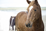 Brown horses on a beach - ZEF006437