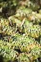 Cactus type of succulent plant - JPF000045